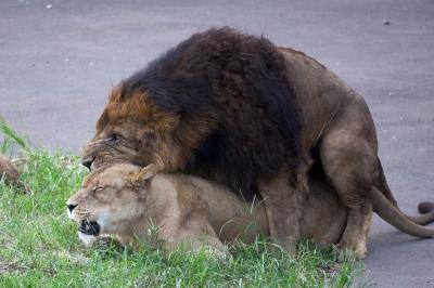soku_03328.jpg :: 動物 哺乳類 ライオン 交尾
