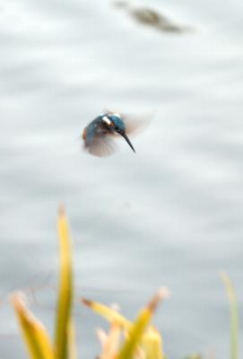 soku_03688.jpg :: 動物 鳥類 カワセミ