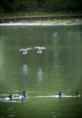 soku_03697.jpg :: 動物 鳥類 カワセミ つがい