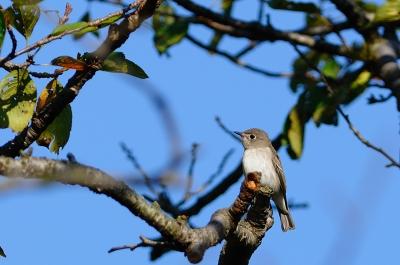 soku_03699.jpg :: コサメビタキ 小鳥 野鳥