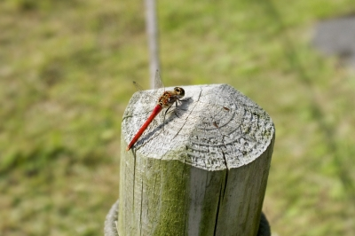 soku_03827.jpg :: 動物 昆虫 トンボ 赤とんぼ 旧芝離宮恩賜庭園