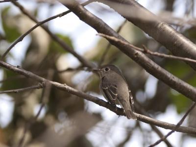 soku_03842.jpg :: 鳥 コサメビタキ ヒタキ科
