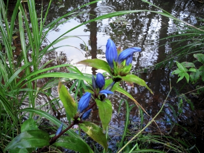 soku_03856.jpg :: 植物 花 リンドウの類