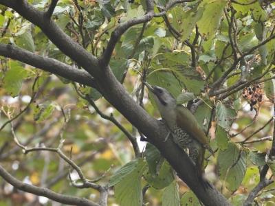soku_03861.jpg :: 鳥 アオゲラ キツツキ科