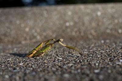 soku_04056.jpg :: カマキリ 動物 昆虫