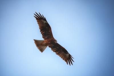 soku_04085.jpg :: 動物 鳥類 猛禽類 トビ