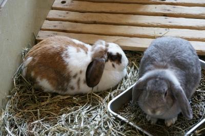 soku_04114.jpg :: 動物 哺乳類 兎 ウサギ