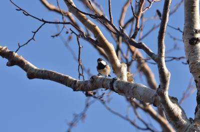 soku_04244.jpg :: 動物 鳥類 ヒガラ