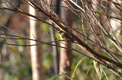 soku_04250.jpg :: 動物 鳥類 ルリビタキ