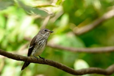 soku_04266.jpg :: エゾビタキ 動物 野鳥 小鳥