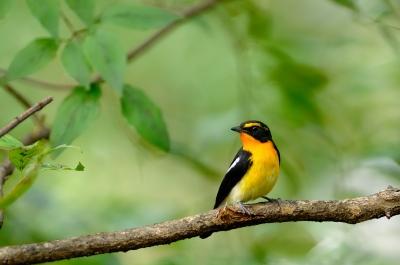 soku_04267.jpg :: キビタキ 動物 野鳥 小鳥
