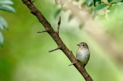 soku_04482.jpg :: コサメビタキ 動物 鳥類 小鳥 野鳥