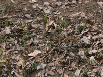 soku_04989.jpg :: 動物 鳥類 雀 すずめ トラツグミ