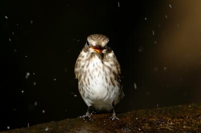 soku_05094.jpg :: 動物 鳥 野山の鳥 エゾビタキ