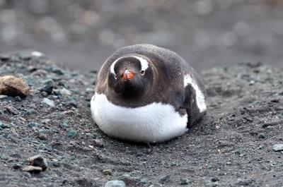 soku_05238.jpg :: 動物 鳥類 ペンギン ジェンツーペンギン