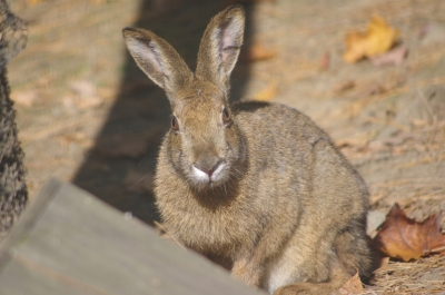 soku_05295.jpg :: 動物 哺乳類 兎 ウサギ 動物園