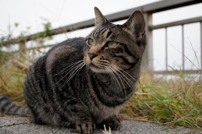 soku_05324.jpg :: 江ノ島 動物 哺乳類 猫 ネコ