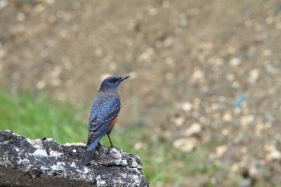 soku_05418.jpg :: 動物 鳥 小鳥 イソヒヨドリ