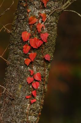 soku_05720.jpg :: 植物 樹木 その他 つた 紅葉