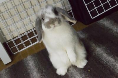 soku_05732.jpg :: 動物 哺乳類 兎 ウサギ うさぎ