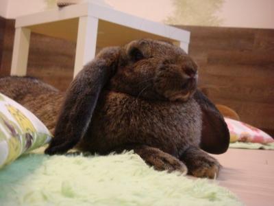 soku_05795.jpg :: 動物 哺乳類 兎 ウサギ うさぎ うさぎカフェ