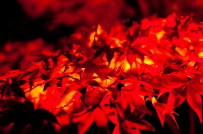 soku_05893.jpg :: 風景 自然 紅葉 赤い紅葉 紅い海