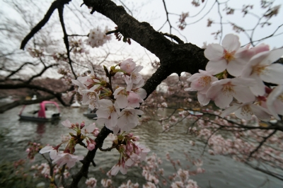 soku_05903.jpg :: 吉祥寺 井の頭公園 桜 水分 10mm(16mm) (^_^)