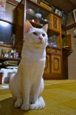 soku_05955.jpg :: 動物 哺乳類 猫 ネコ おすわり 加工