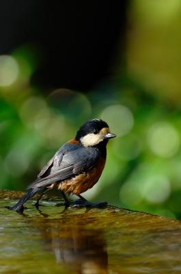 soku_05972.jpg :: 動物 鳥 野山の鳥 ヤマガラ
