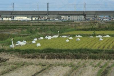 soku_06040.jpg :: 動物 鳥 白鳥 ハクチョウ by Niigata