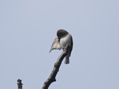 soku_06088.jpg :: 動物 鳥 野山の鳥 コサメビタキ
