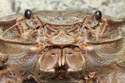 soku_06272.jpg :: 動物 海の生物 カニ 顔