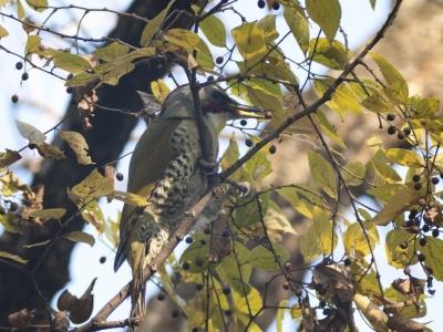 soku_06402.jpg :: 動物 鳥 野山の鳥 アオゲラ