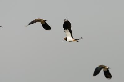soku_06539.jpg :: 動物 鳥 田園の鳥 タゲリ