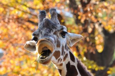 soku_06724.jpg :: 動物 哺乳類 キリン 上野動物園