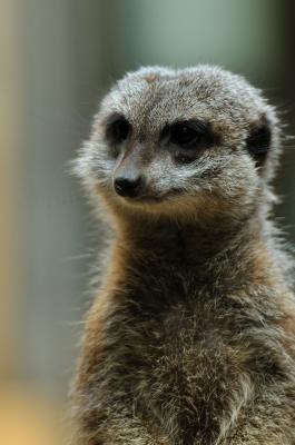 soku_06736.jpg :: 動物 ミーアキャット 上野動物園
