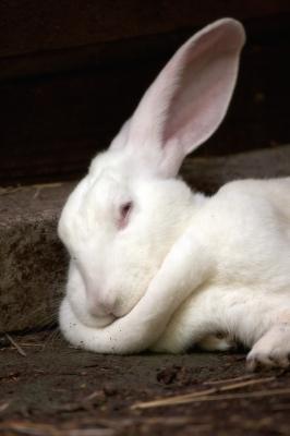 soku_06774.jpg :: 上野動物園 動物 哺乳類 兎 ウサギ 白うさぎ