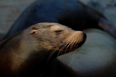soku_06783.jpg :: 動物 海の生物 アザラシ アシカ