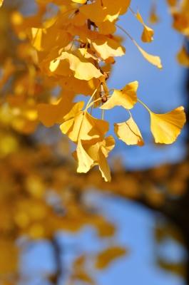 soku_06823.jpg :: イチョウ 風景 自然 紅葉 黄色い紅葉