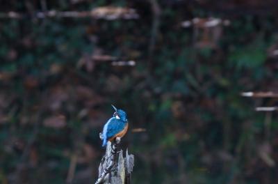 soku_07155.jpg :: 動物 鳥 野山の鳥 カワセミ