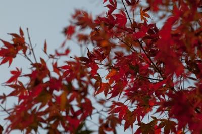soku_07292.jpg :: 風景 自然 紅葉 赤い紅葉