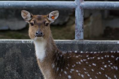soku_07471.jpg :: 東山動物園 動物 哺乳類 鹿 シカ