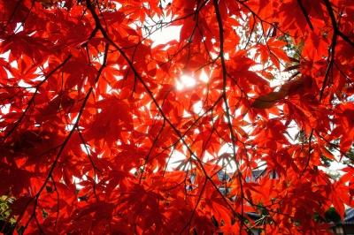 soku_07585.jpg :: 風景 自然 紅葉 赤い紅葉