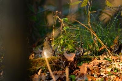 soku_07643.jpg :: 動物 鳥 野山の鳥 シロハラ