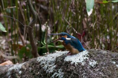 soku_07695.jpg :: 動物 鳥 野山の鳥 カワセミ