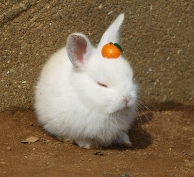 soku_07749.jpg :: 動物 哺乳類 兎 ウサギ みかん