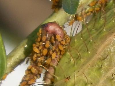 soku_07931.jpg :: 動物 虫 昆虫 害虫 アブラムシ