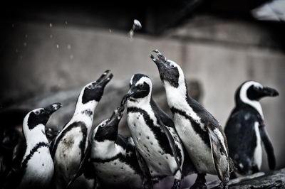 soku_08030.jpg :: 動物 鳥 ペンギン