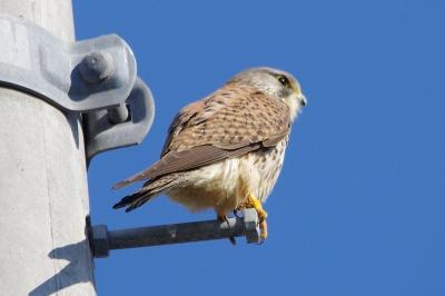 soku_08311.jpg :: 動物 鳥 猛禽類 チョウゲンボウ