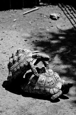 soku_08519.jpg :: 動物 爬虫類 両生類 亀 交尾 モノクロ